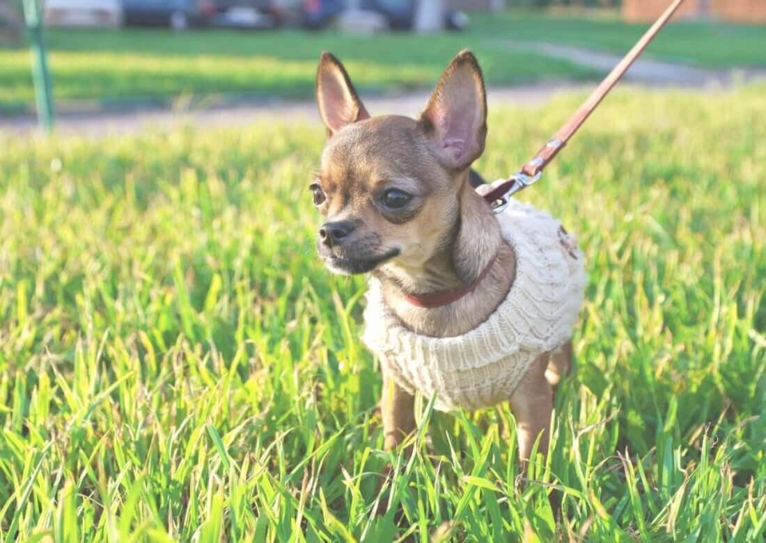 Немецкий с видео: Самые маленькие собаки в мире. Репортаж 14 мин.